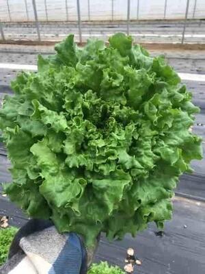 Lettuce - Green Leaf