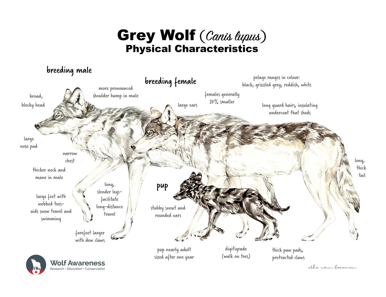 FREE Wolf Family Poster by artist Elke van Breemen