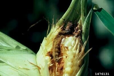 Arbico Organics NemAttack Beneficial Steinernema carpocapsae Nematodes Farm = 1 acre 50,000,000 unit