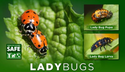 Orcon Pre-paid Certificate Ladybugs Aphid Predator Adults