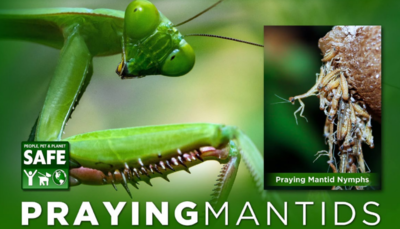 Orcon Pre-paid Certificate Praying Mantids for broad specctrum pest control Egg cluster 2 unit