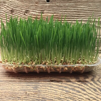 Wheatgrass Tray for Pets and People