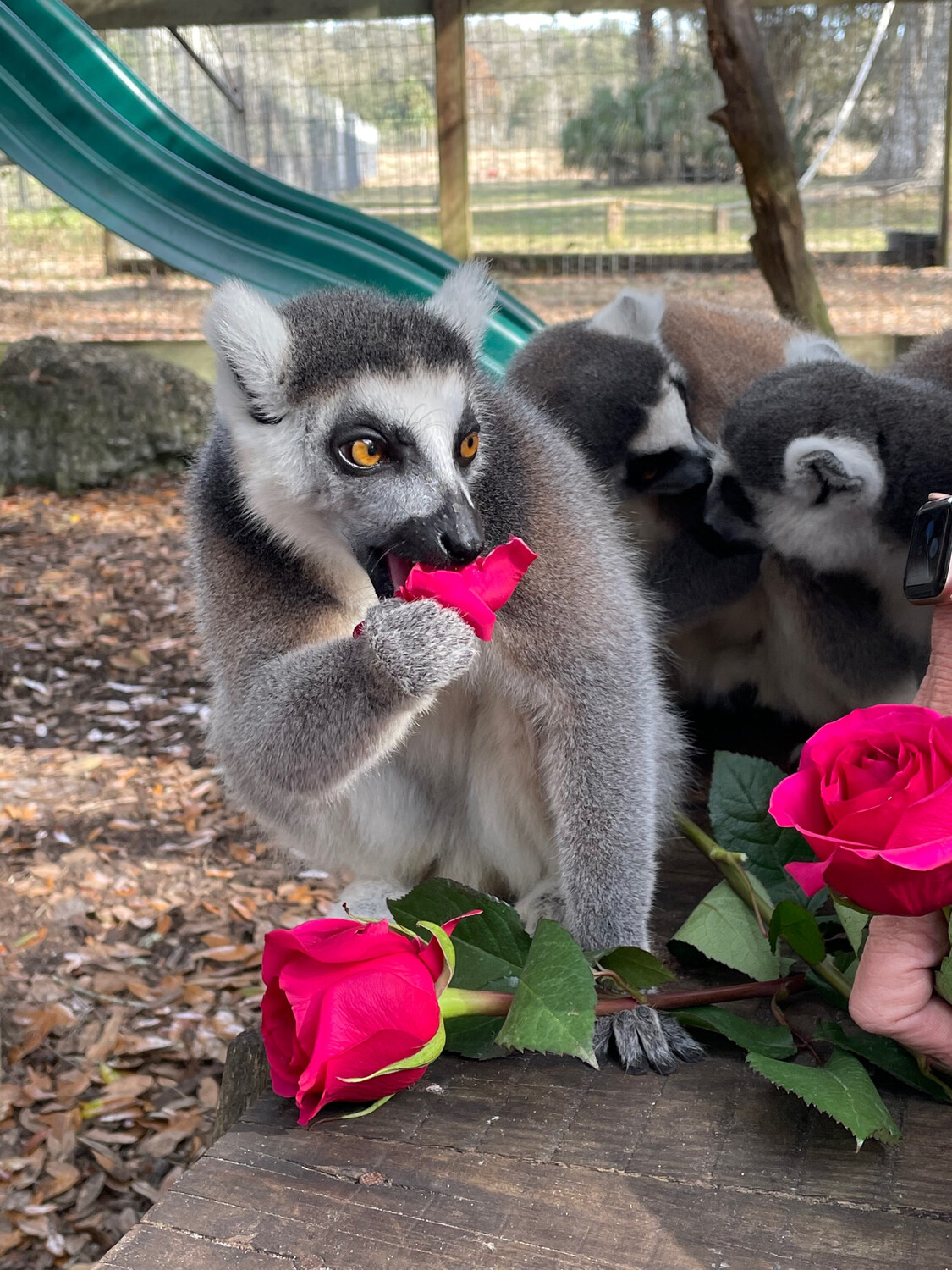 Lemur And Love Valentines Day Special