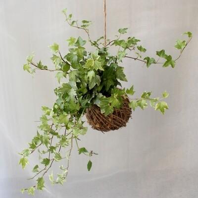 Hedera helix (English Ivy)