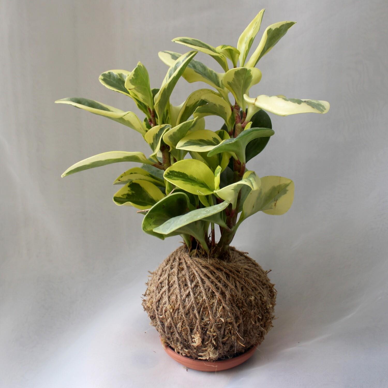 Peperomia obtusifolia variegated