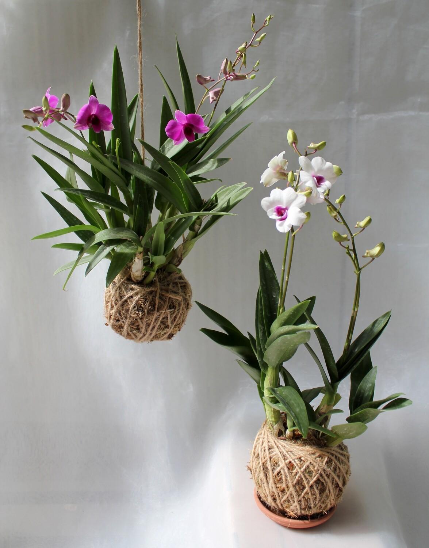 Mini dendrobium orchids