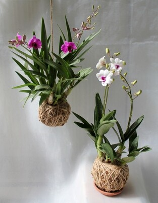 Mini dendrobium orchids (Set of 2)
