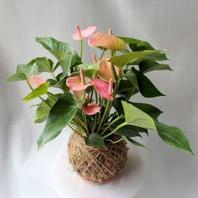 Anthurium sp (Flamingo lily)