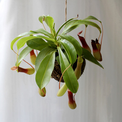 Nepenthes sp green (Pitcher plant)
