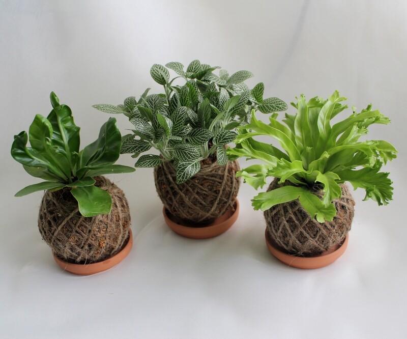 Mini kokedama set