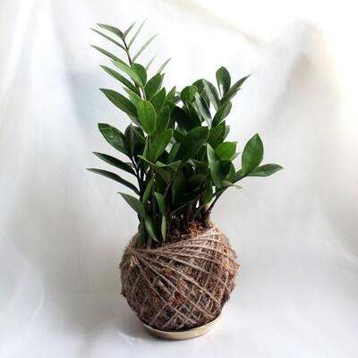 Zamioculcas Zamiifolia (Fortune Tree)