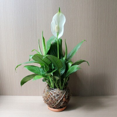 Peace Lily Kokedama [MOTHERS' DAY SPECIAL]