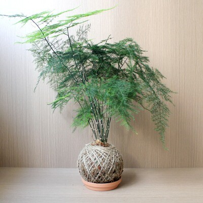 Asparagus Fern Kokedama [MOTHERS' DAY SPECIAL]
