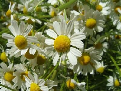 Chamomile scented - 11