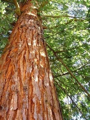 Cedar scented - 11