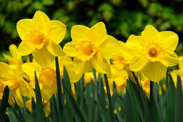 "Daffodil scented - 11"" Intense Incense Sticks and small Cones - Made Fresh to Order"