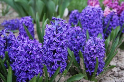Hyacinth scented - 11