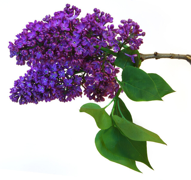 "Lilac scented - 11"" Intense Incense Sticks and small Cones - Made Fresh to Order"