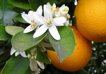 "Orange Blossom scented - 11"" Intense Incense Sticks and small Cones - Made Fresh to Order"