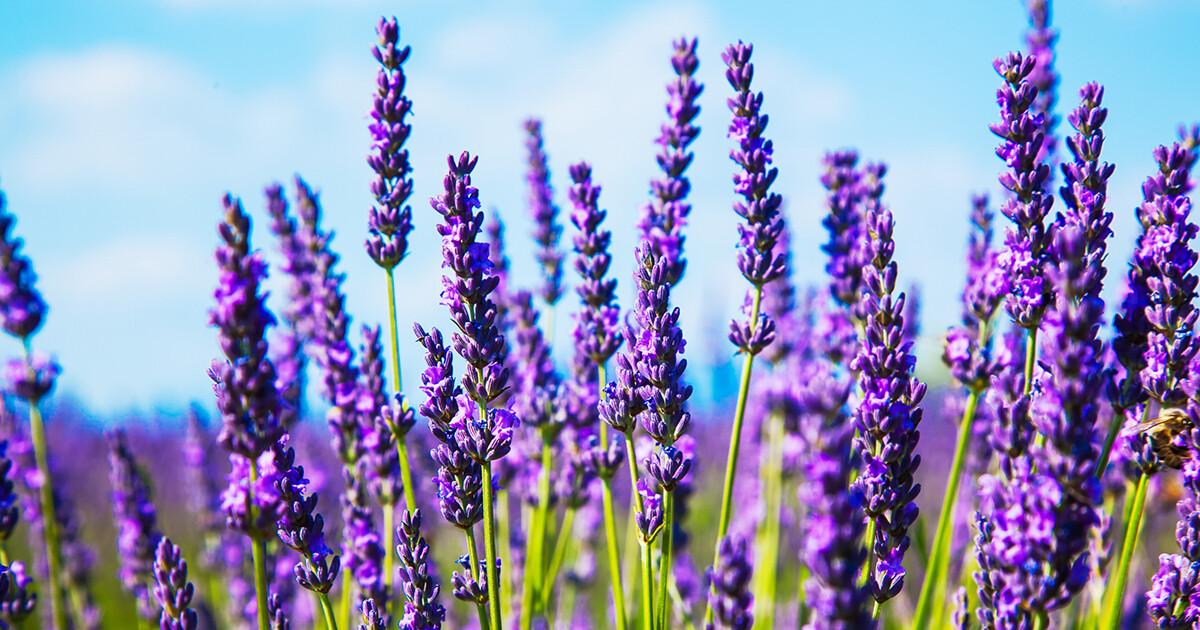 "Lavender scented - 19"" JUMBO Sticks - Intense Incense  - Long Lasting, Slow Burn - Made Fresh to Order"