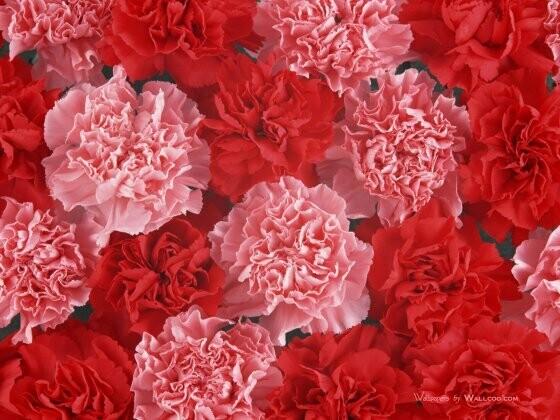 "Carnation scented  - 19"" JUMBO Sticks - Intense Incense  - Long Lasting, Slow Burn - Made Fresh to Order"