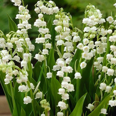 Lily of the Valley scented - 19