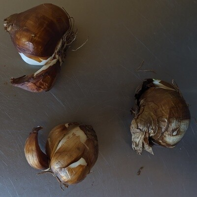Paperwhite Bulb