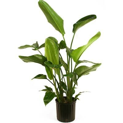 PREORDER ONLY! Bird of Paradise Plant (Multiple Sizes)
