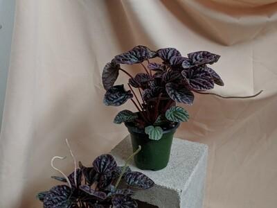 Peperomia Burgundy Ripple Plant