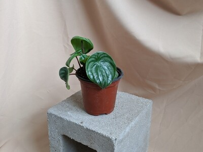 Peperomia Watermelon Plant
