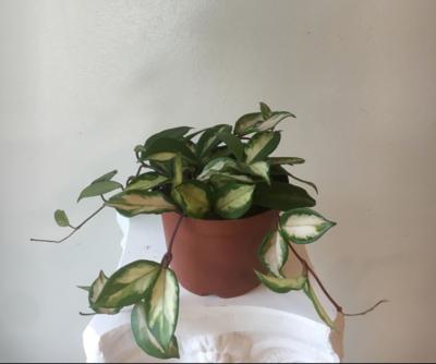 Hoya Krimson Princess (Light Pink Center Var.) Plant (Multiple Sizes)