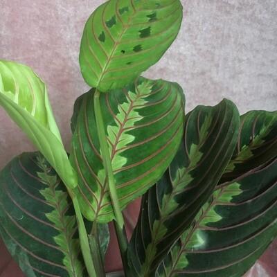 Maranta / Prayer Plant (Red)