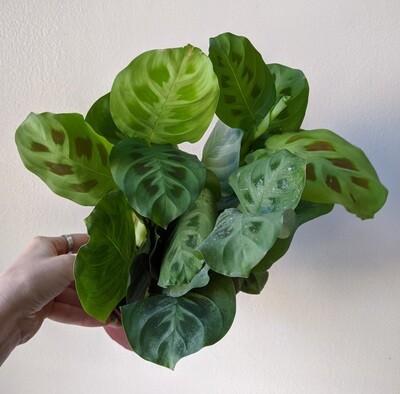 Maranta / Prayer Plant (Light Green)