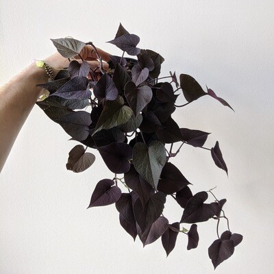 Ace of Spades Sweet Potato Vine Plant