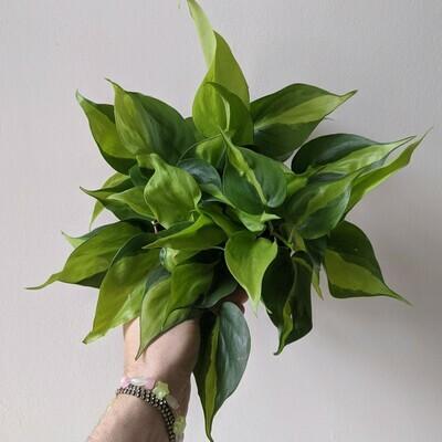 Philodendron Heartleaf Brasil Plant (Multiple Sizes)