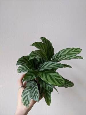 Calathea Concina Plant