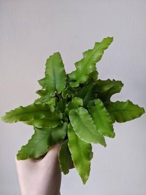 """Heart Leaf Fern Plant 4"""""""
