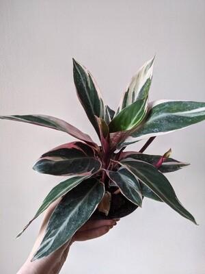 Stromanthe Triostar Plant (Multiple Sizes)