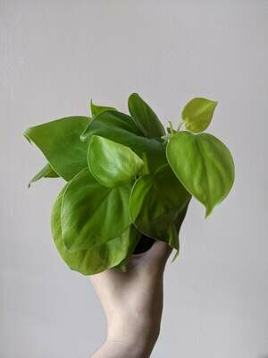 """Philodendron """"Neon"""" Plant (Multiple Sizes)"""