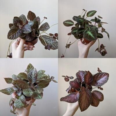 Episcia / Flame Violet Plant (Multiple Colors)