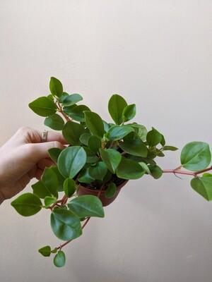 Peperomia Cubensis Plant