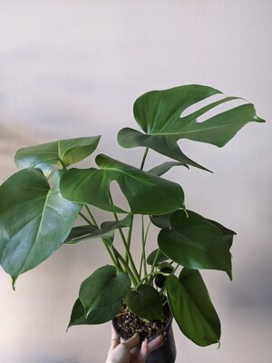 Philodendron Monstera Deliciosa Plant (Multiple Sizes)