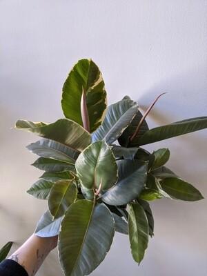 Ficus Elastica / Rubber Plant