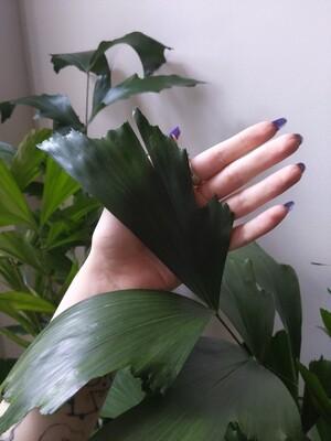Fishtail Palm 14