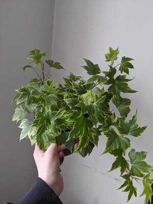 "Variegated Ivy Plant 6"""