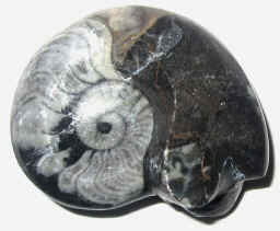 Stone - Ammonite Fossils