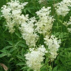 Meadowsweet (Filipendula ulmaria )