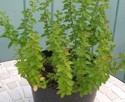 Oregano 'Diabolo'  (Origanum Vulgare Diabolo)
