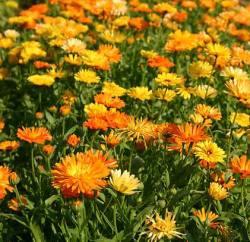 Marigold, Pot  (Calendula officinalis)