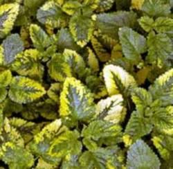 Lemon Balm 'Variegated' (Melissa Officinalis Aurea)
